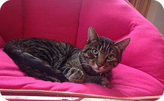 Domestic Shorthair Cat for adoption in Alexandria, Virginia - Tony