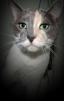 Calico Cat for adoption in Sarasota, Florida - Aisa