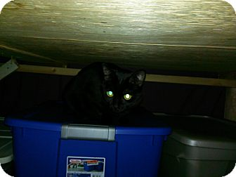 Domestic Shorthair Cat for adoption in Colbert, Georgia - Maggie