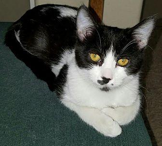 Domestic Shorthair Kitten for adoption in Monrovia, California - Anna