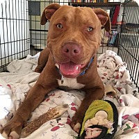 Adopt A Pet :: Orion - ADOPTION PENDING!! - Arlington, VA