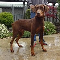 Adopt A Pet :: Koda - Lathrop, CA