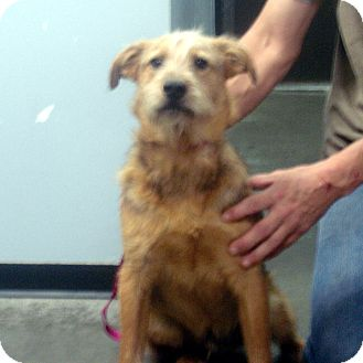 Airedale Terrier Mix Dog for adoption in Greencastle, North Carolina - Cedric