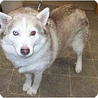 Adopt A Pet :: Basia - Belleville, MI