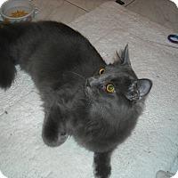 Adopt A Pet :: Morris (& DJ)  Purrfect Pair - Arlington, VA
