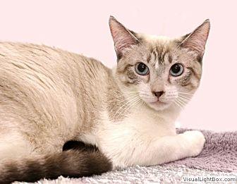 Snowshoe Kitten for adoption in Westchester, California - Morgan