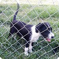 Adopt A Pet :: Gabbi - Waller, TX