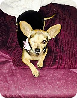 Chihuahua Dog for adoption in Windermere, Florida - Siya
