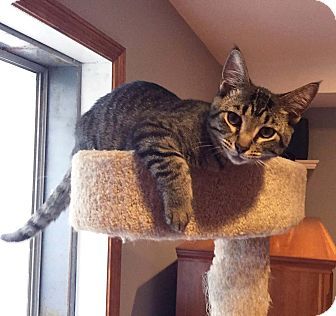 Domestic Shorthair Kitten for adoption in Lombard, Illinois - Posey