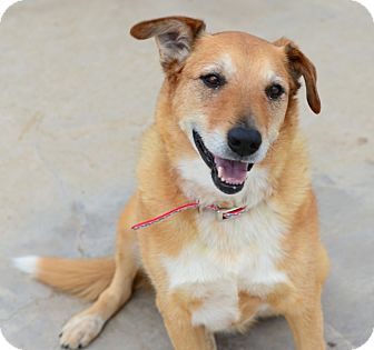 Retriever (Unknown Type)/Shepherd (Unknown Type) Mix Dog for adoption in Gardnerville, Nevada - Dakota