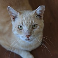 Domestic Shorthair Cat for adoption in Columbus, Ohio - Slinky