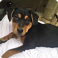 Adopt A Pet :: Callie - Rexford, NY