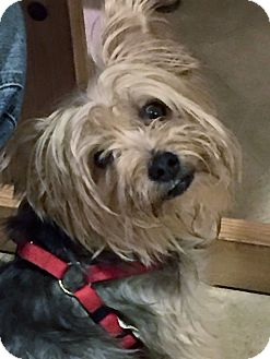 Yorkie, Yorkshire Terrier Dog for adoption in Jacksonville, Florida - Simba