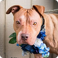 Pit Bull Terrier Dog for adoption in Seattle, Washington - Gabby Meyer