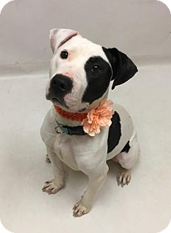 American Pit Bull Terrier Mix Dog for adoption in Virginia Beach, Virginia - 1704-0322 Aldi