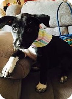 Labrador Retriever Mix Puppy for adoption in New Smyrna Beach, Florida - India