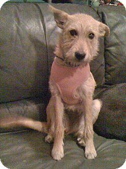 Terrier (Unknown Type, Medium)/Irish Terrier Mix Puppy for adoption in Phoenix, Arizona - Gracie