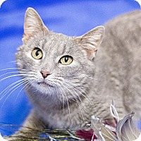 Adopt A Pet :: Shimmer - Chicago, IL