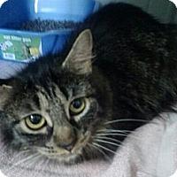 Adopt A Pet :: Ahsoka - Willington, CT