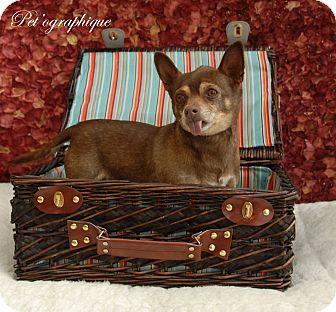 Chihuahua Mix Dog for adoption in Las Vegas, Nevada - Sammy