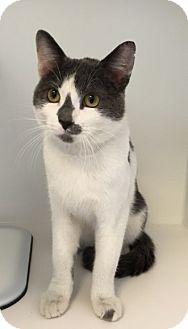 Domestic Shorthair Cat for adoption in Merrifield, Virginia - Beamer