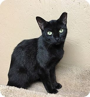 Domestic Shorthair Cat for adoption in Hillside, Illinois - Sabrina-PETITE SWEETIE