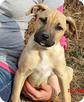 Great Dane/Shepherd (Unknown Type) Mix Puppy for adoption in Williamsport, Maryland - Teagan (14 lb) Pretty Pup!