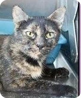Domestic Shorthair Cat for adoption in Flower Mound, Texas - Jelly Bean