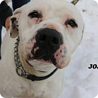 American Bulldog Mix Puppy for adoption in Denver, Colorado - JoJo