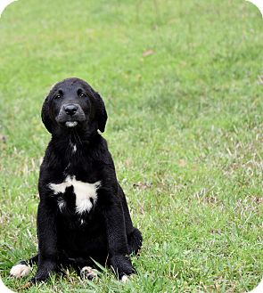 Flat-Coated Retriever Mix Puppy for adoption in Groton, Massachusetts - Kimmie