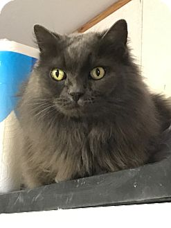 Domestic Longhair Cat for adoption in Plainville, Massachusetts - Melody