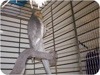 Cockatiel for adoption in Neenah, Wisconsin - Prancer