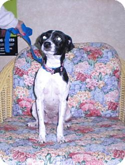 """Terrier (Unknown Type, Small) Mix Dog for adoption in New Castle, Pennsylvania - """" Penny """""""