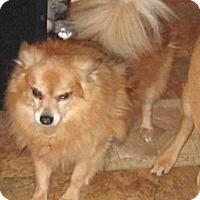 Adopt A Pet :: Gismo Senior needs home - Copperas Cove, TX