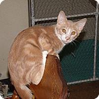Adopt A Pet :: Brooks-pretty & cuddly - Scottsdale, AZ