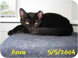 Domestic Shorthair Cat for adoption in AUSTIN, Texas - ANNE