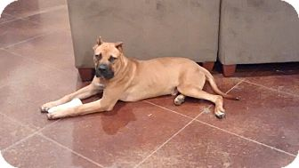 Mastiff/Labrador Retriever Mix Puppy for adoption in knoxville, Tennessee - BAXTER