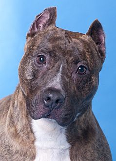 American Staffordshire Terrier Dog for adoption in Chicago, Illinois - Bullwinkle