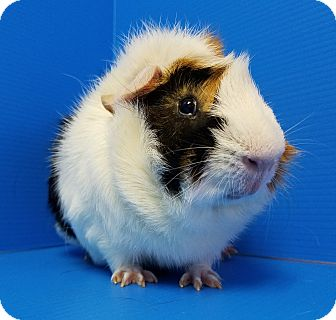 Guinea Pig for adoption in Lewisville, Texas - Fenway