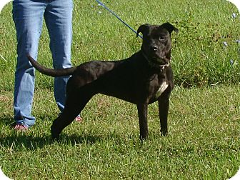Pit Bull Terrier Mix Dog for adoption in Cameron, Missouri - tara