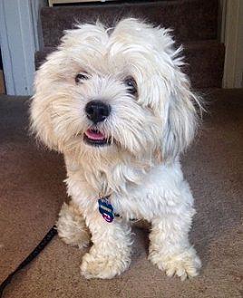 Lhasa Apso Mix Dog for adoption in Fremont, California - Sherlock D5098