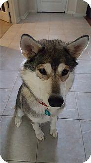 Alaskan Malamute Dog for adoption in Sugar Land, Texas - Sonja