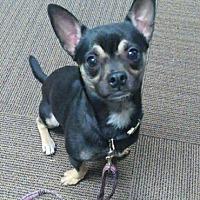 Adopt A Pet :: ENZO !! - Mastic Beach, NY