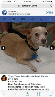 Chihuahua Mix Dog for adoption in Westminster, Colorado - Petunia