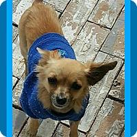 Chihuahua Dog for adoption in Halifax, Nova Scotia - KAYOTE