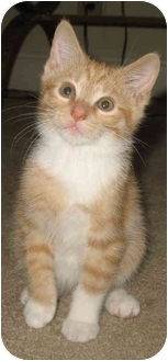 Domestic Longhair Kitten for adoption in Cincinnati, Ohio - Brendas Male kittens