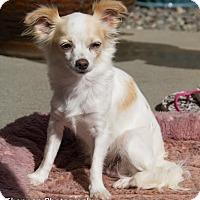 Adopt A Pet :: Magnificent Mango - Vacaville, CA