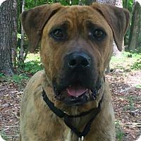 Adopt A Pet :: Boz - Brattleboro, VT