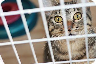 Domestic Shorthair Kitten for adoption in Covington, Louisiana - Infatuated