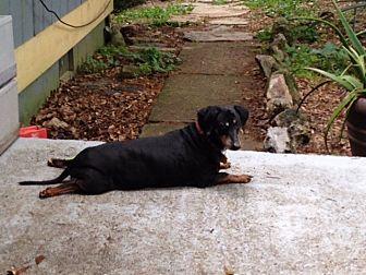 Dachshund Dog for adoption in Decatur, Georgia - DINO